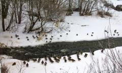 Река Вязьма зимой уточки