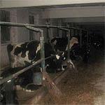 На месяц приостановлена деятельность фермы в Быково