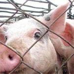 Кайдаковская свиноферма создает угрозу возникновения очага АЧС
