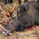 За убитого лося вязьмичу светит до 2 лет лишения свободы