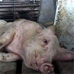 Свиней зарезали, чрезвычайной ситуации больше нет