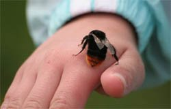 Вязьмичка умерла от укуса пчелы