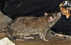 В Вязьме выявлены инфицированные крысы