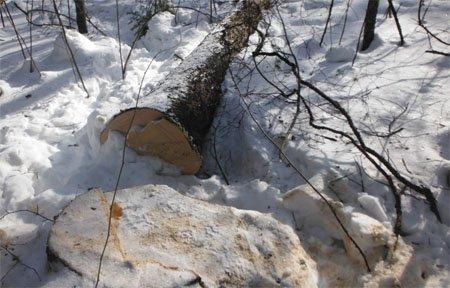 В Вяземском районе полицией выявлена незаконная рубка деревьев