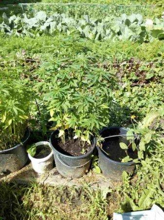 Житель Вязьмы выращивал коноплю в Темкинском районе