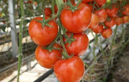 Вязьмичей накормят томатами