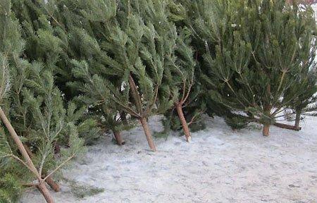 Где купить живую елку на новый 2018 год