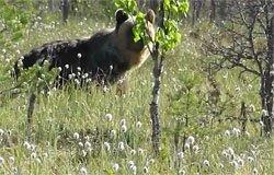 Рядом с поселком Новый был замечен медведь