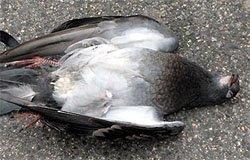 В Нахимовском сквере умирают птицы