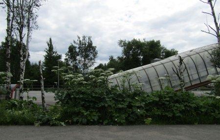 Вязьмичей в Андрейковво поджидает борщевик