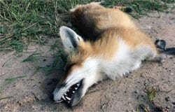 На Юбилейной найдена мертвая лиса