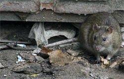 Игорь Семенков травит крыс беспощадно