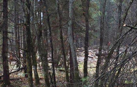Кто вырубает вековые деревья в Хмелите?