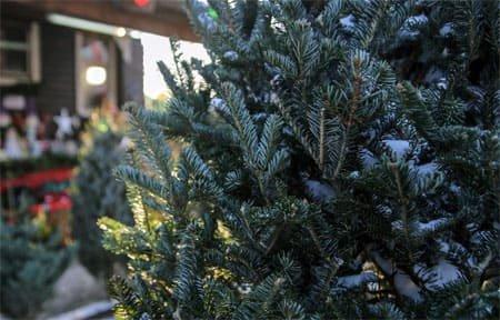 С 23 декабря открывается продажа живых новогодних елей