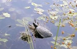 В Вязьме завелись черепахи [видео]