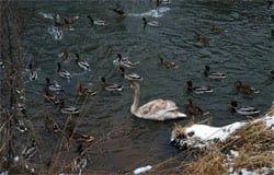 В реке Вязьма появился лебедь