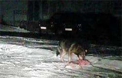 На Московской волк загрыз собаку