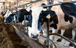 Губернатор снова пообещал модернизацию животноводческого комплекса в Шуйском