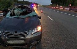 На 237 километре автодороги «М1» Тойота сбила лося