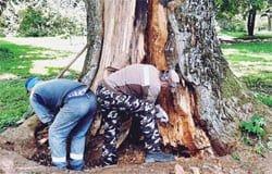 В Хмелите специалисты-дендрологи начали лечение старинных деревьев