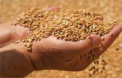 Директор вяземского агропредприятия вместо покупки зерна лишился денег