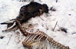 Под Хмелитой нашли еще одну тушу лося