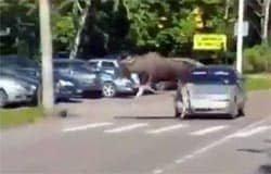 В Вязьме по улицам бегал лось