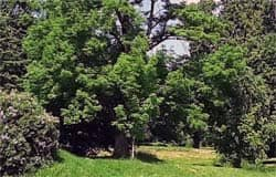 Ясень из Хмелиты вошел в программу Деревья — памятники живой природы